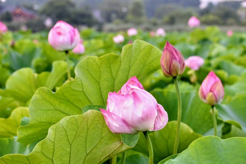 Lotus Pond in Ueno, Rediscover Tours