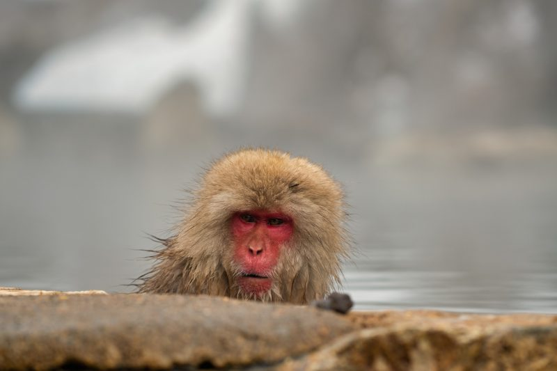 Snow Monkey in Yudanaka Onsen, Japan Tours, RediscoverTours.com